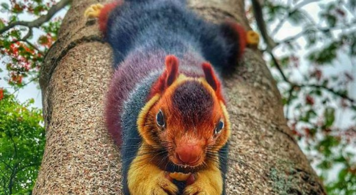 Multicolored Squirrels